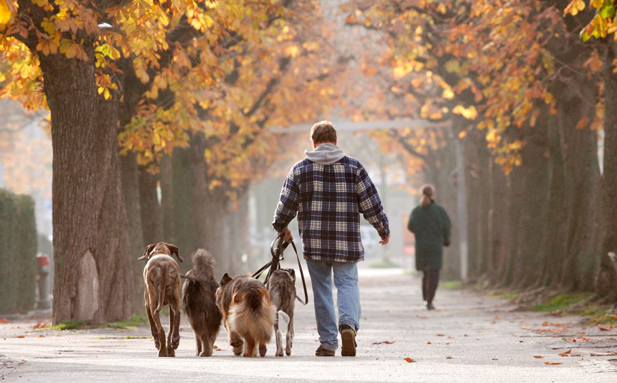 راه بردن چندین سگ